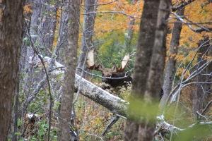 Male moose (Photo taken by Lauren)