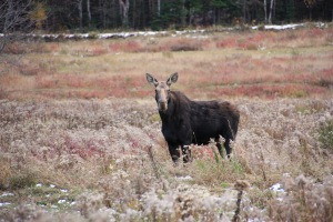 Moose sighting at Baxter State Park